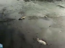 [Peixes mortos são encontrados por pescadores no Rio Joanes; Inema apura]