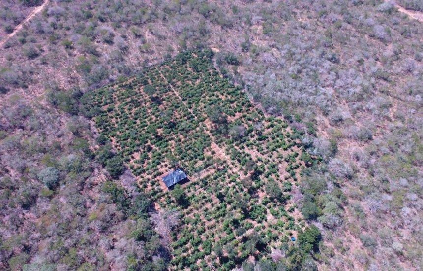 [Plantação com 40 mil pés de maconha é encontrada com a ajuda de drone]