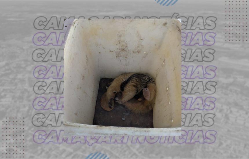 [Debilitado, tamanduá-mirim é resgatado pela Defesa Civil de Camaçari]